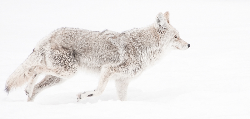 Ghosty Coyote
