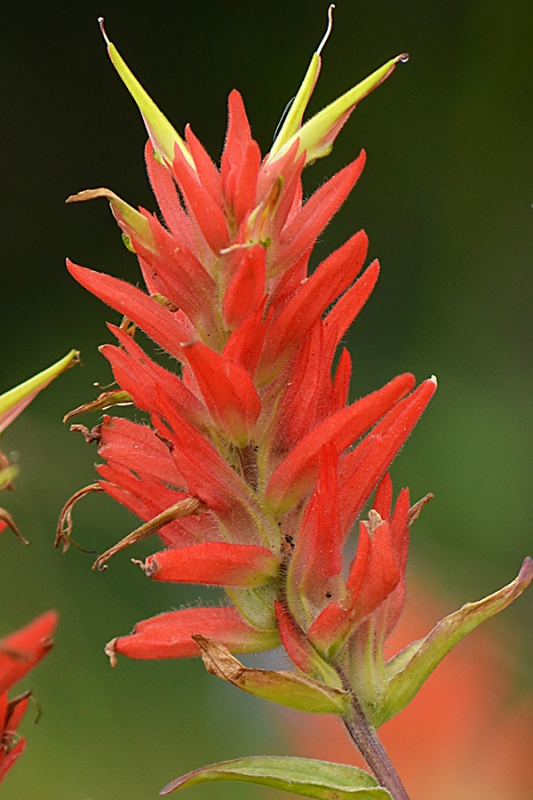 Orange Beauty – Paintbrush Close Up