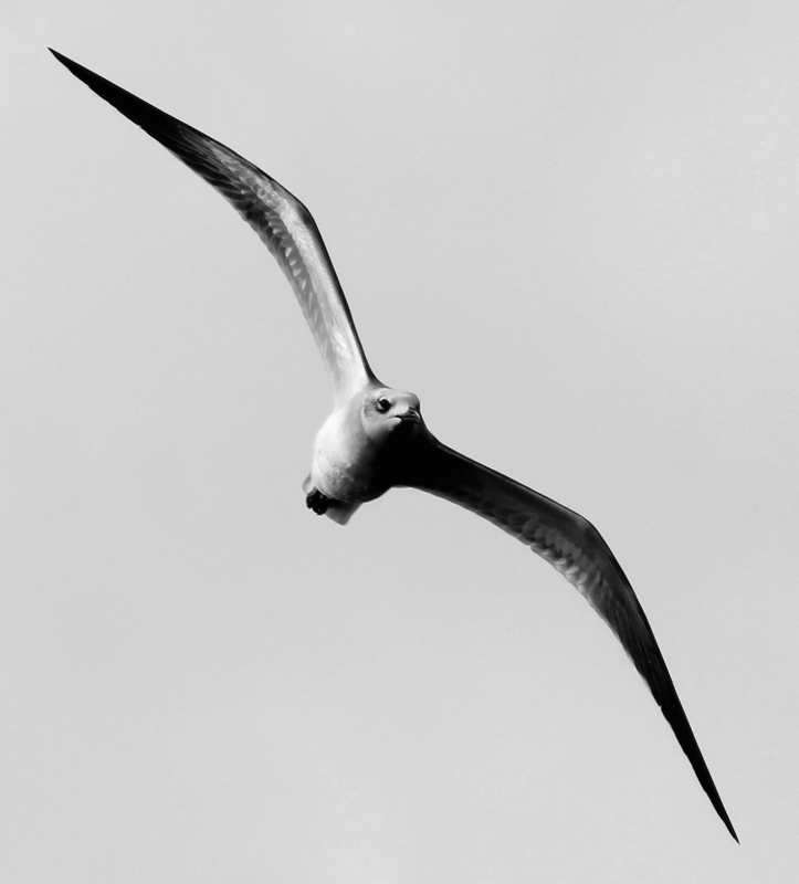 Juvenile Laughing Gull