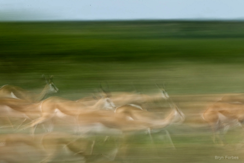 Springbok On The Run