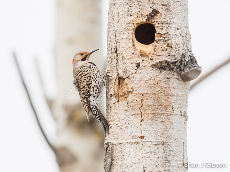 Northern Flicker Nest