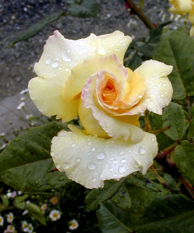 Napa's Rain Kissed Yellow Rose