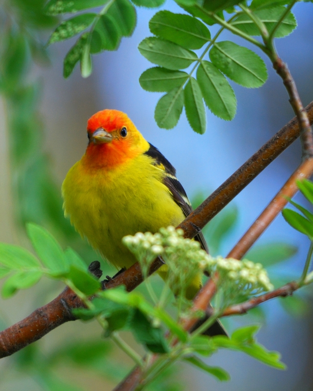 Tanager In The Mountain Ash