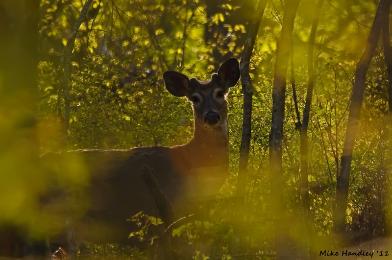 Stumpy The Backlit Buck