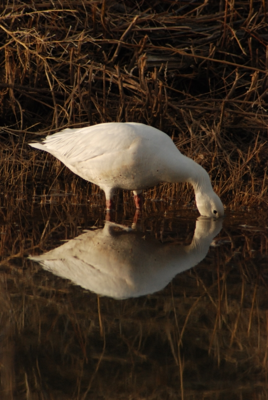 Reflecting Snow Goose