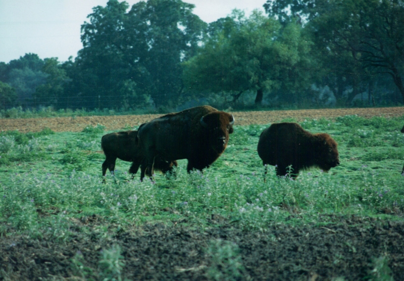 Bison In An East Texas Field