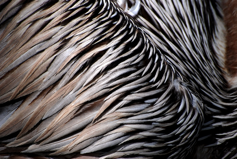 Brown Pelican Feathers