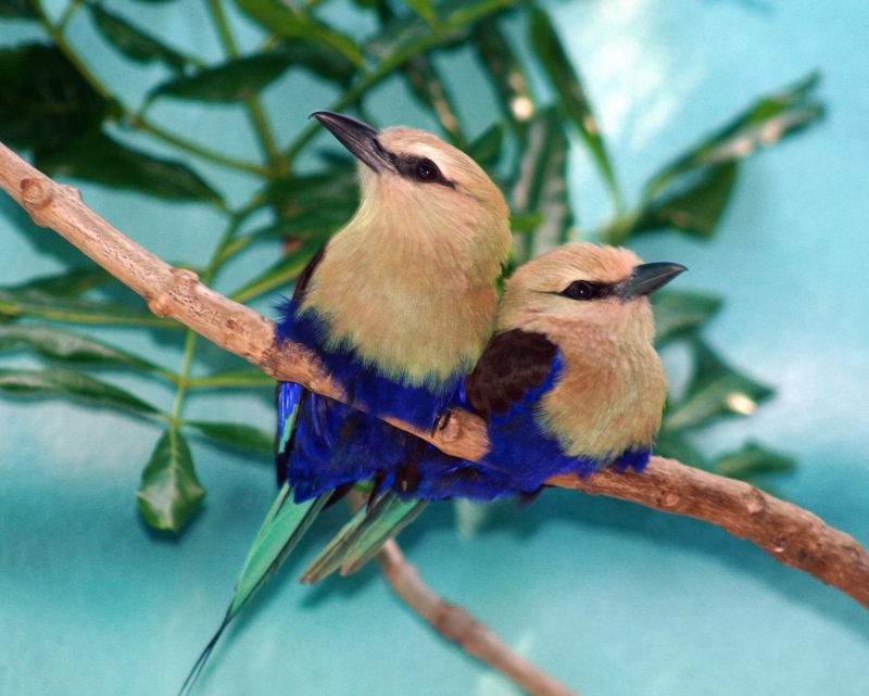 Blue-bellied Rollers