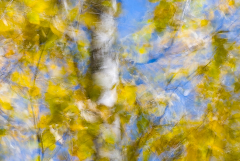 Wind In The Birch Trees