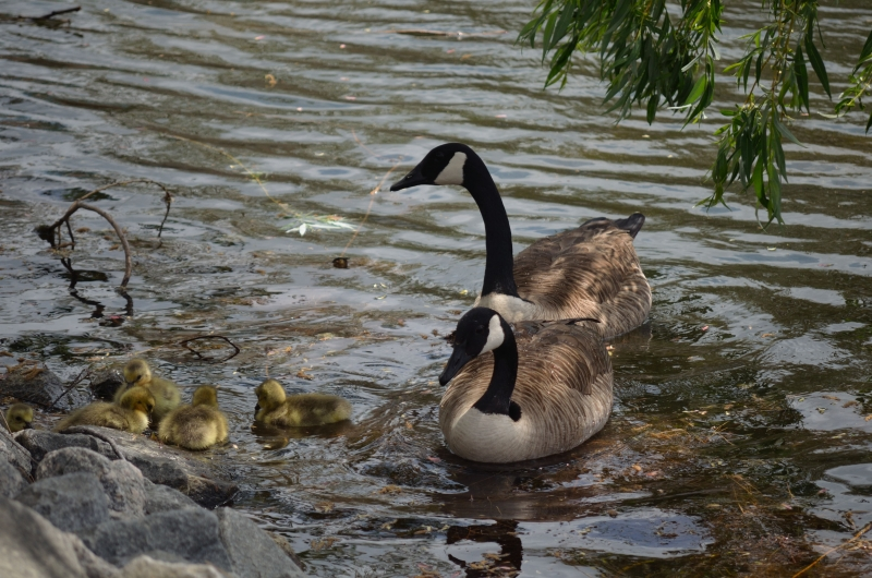 New Family Of Geese