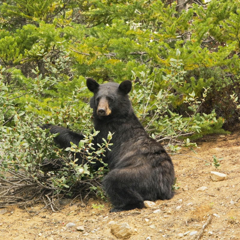 Black Bear Feasting On Berries