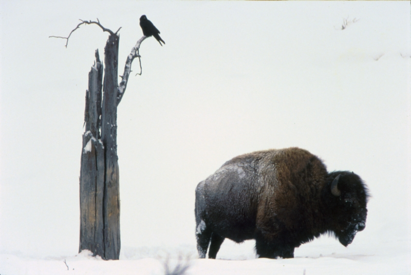 Bison And Raven