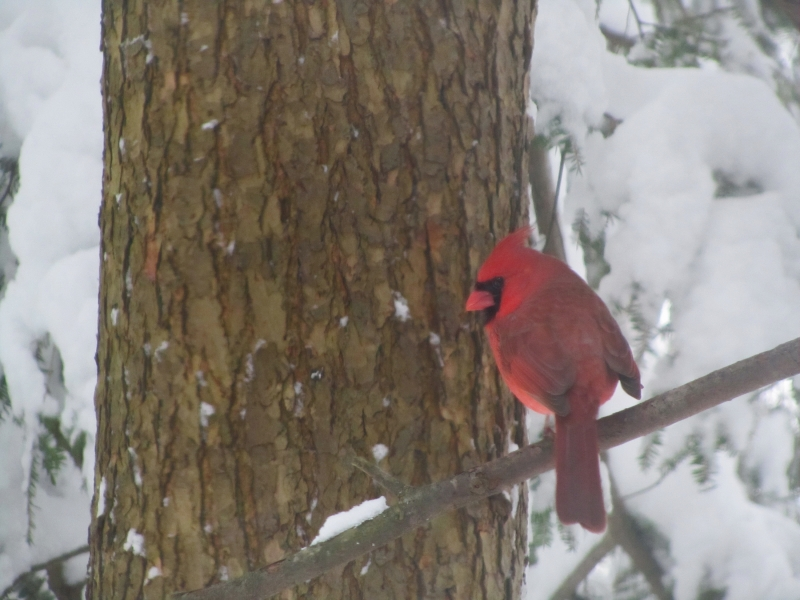 Cardinal In My Yard