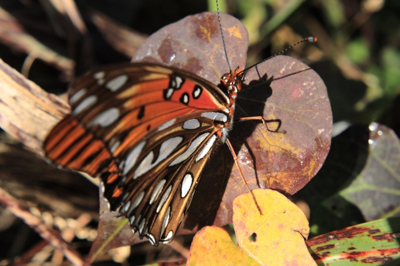 Butterfly And Fall Leaves