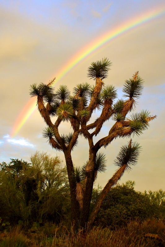 Joshua Tree Rainbow