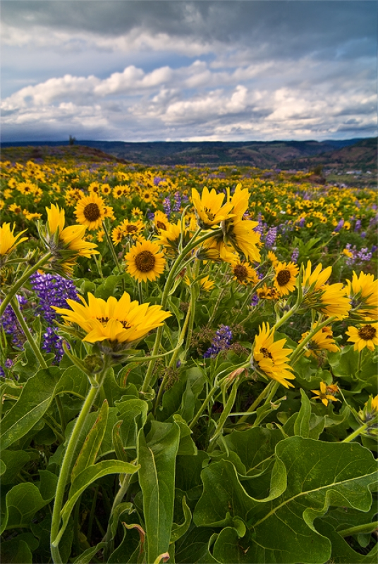 Columbia Gorge – Spring Flowers