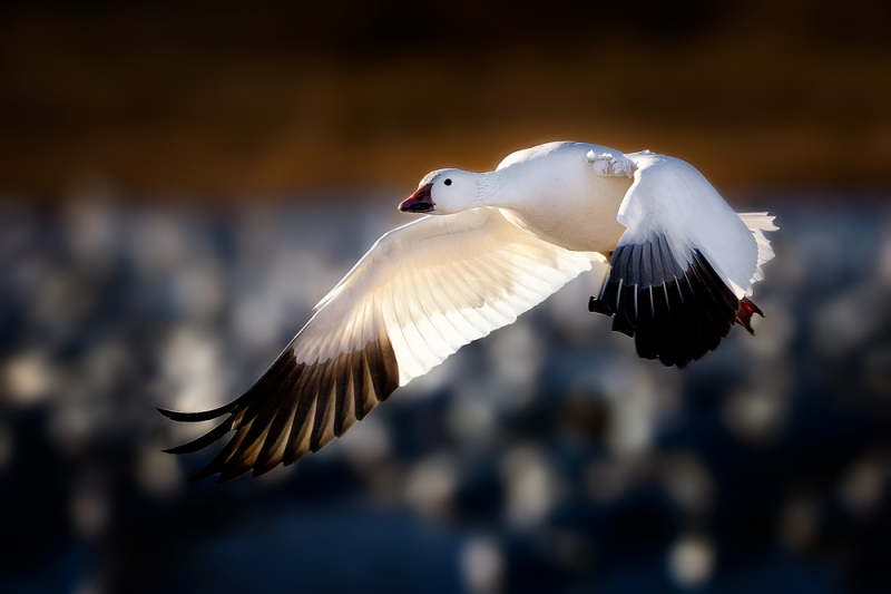 Snow Goose Taking Flight