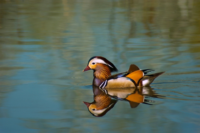 The Duck Of Many Colors