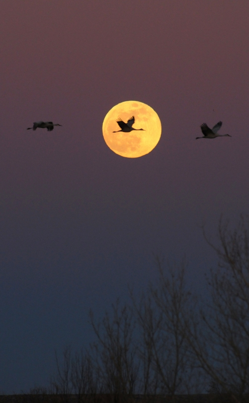 Sandhill Cranes Fly Through The Moon