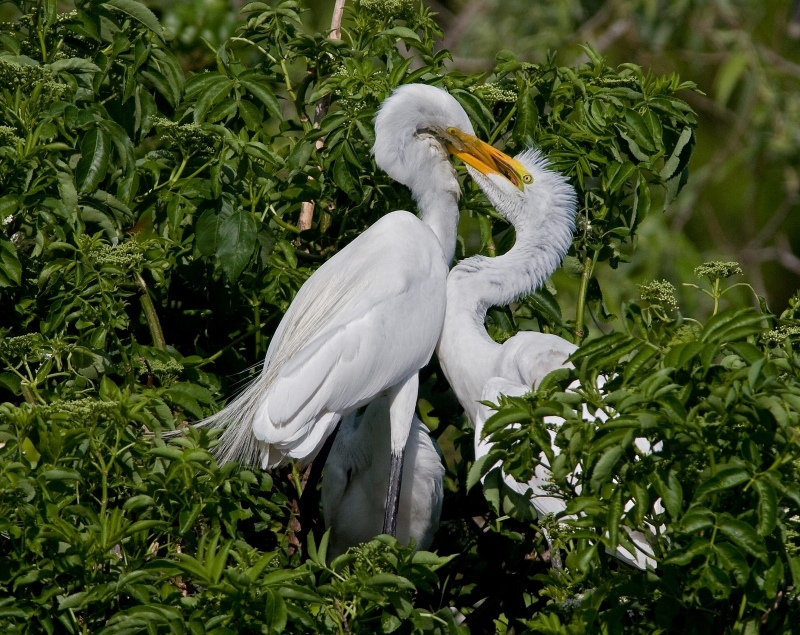 Great White Egret Feeding Young