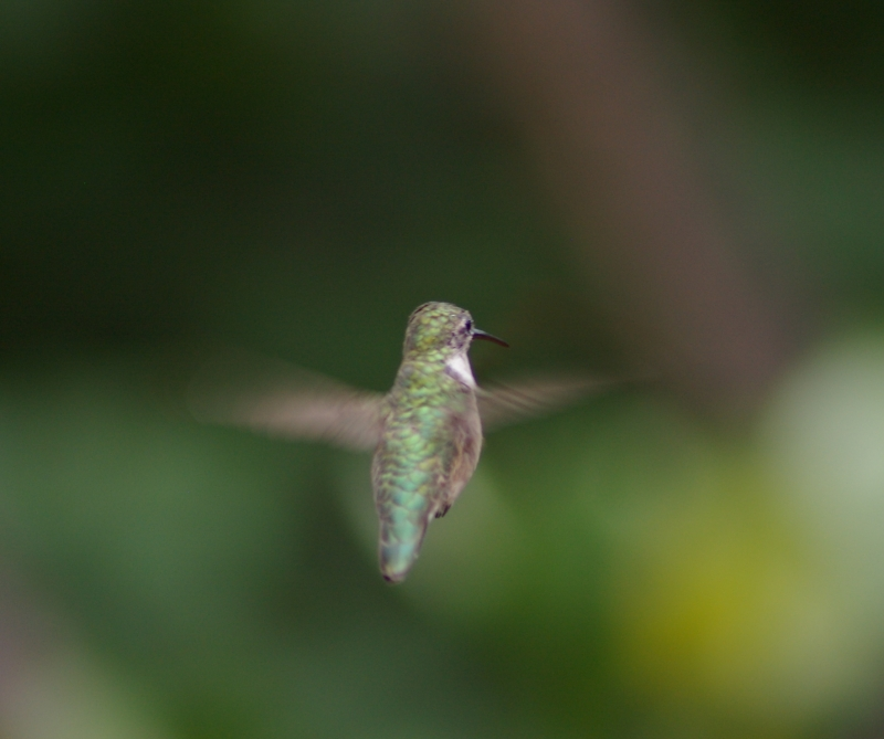 Hummer In Flight