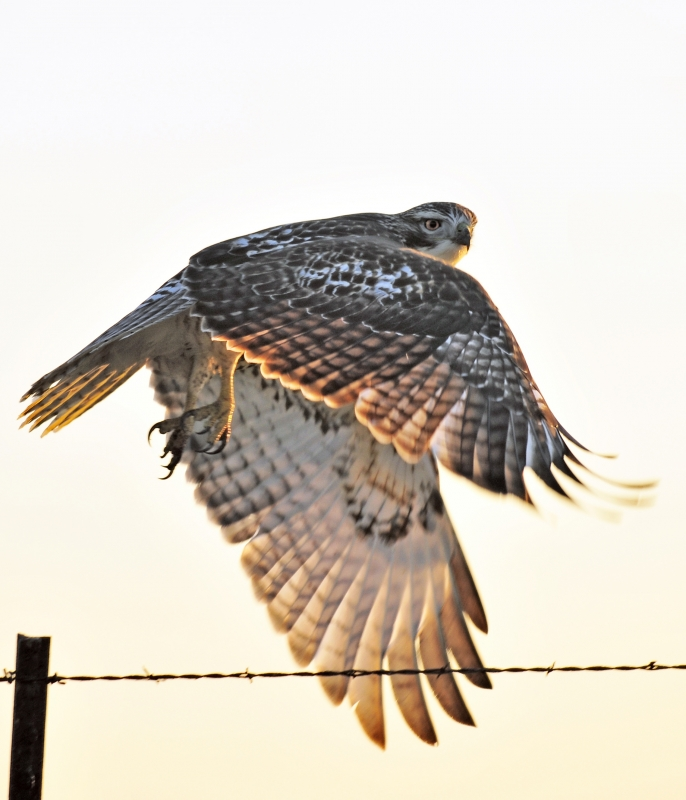 Hawk, Leaving