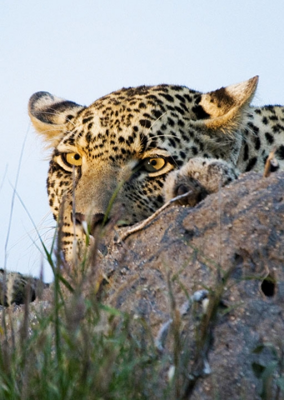 Leopard Manintains A Low Profile
