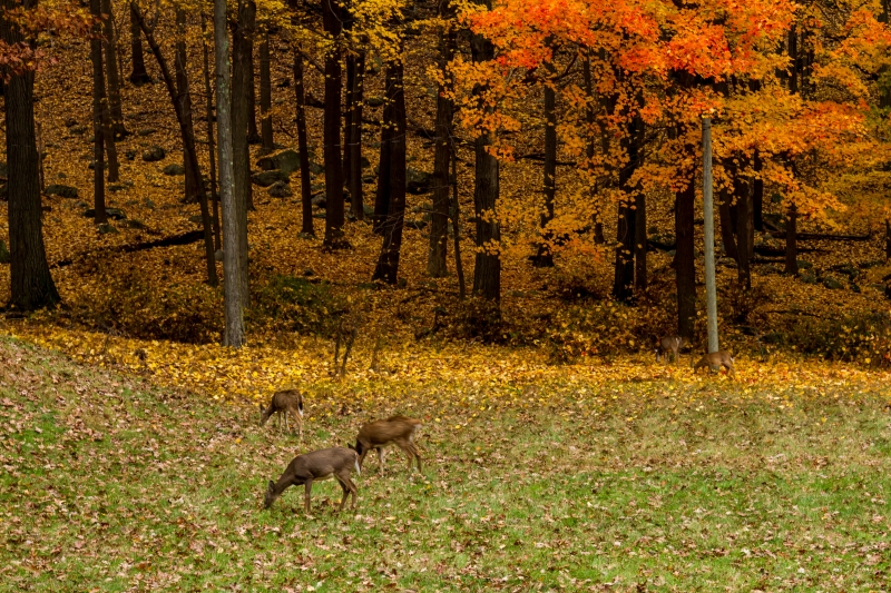 Deer In Fall Colors