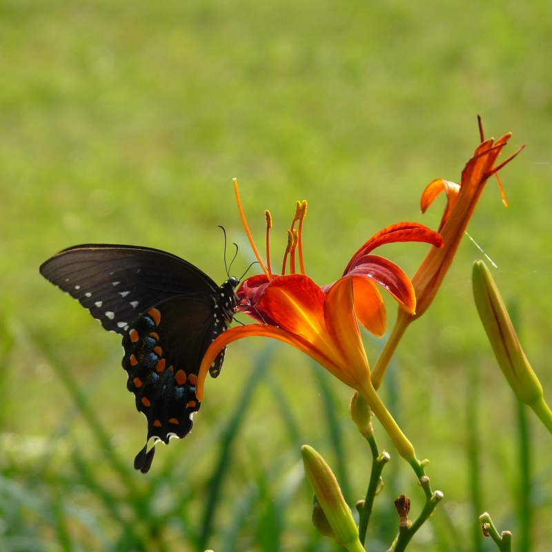 Swallowtail And Blossom