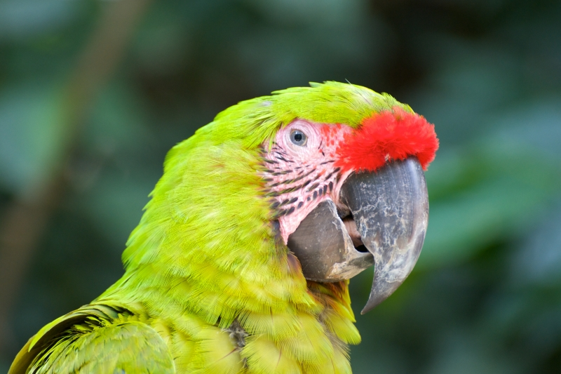 Great Green Macaw Portrait