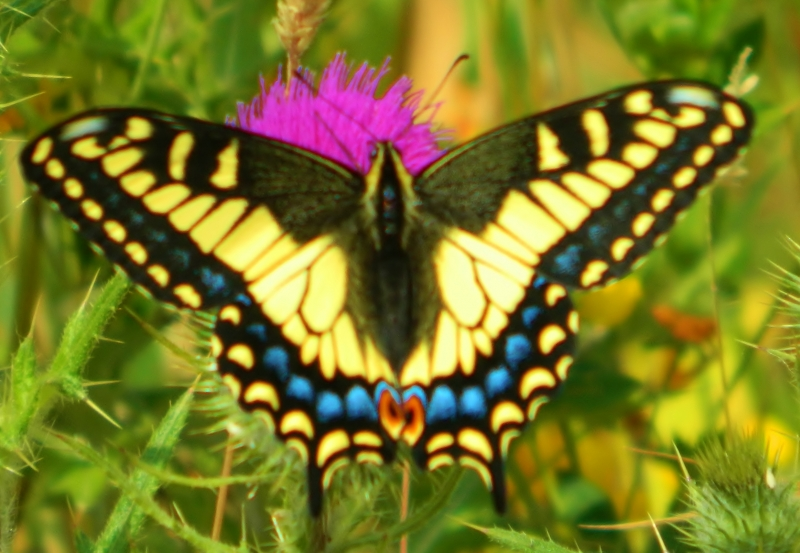 Butterfly On Thistle