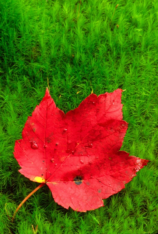 Maple Leaf In Moss