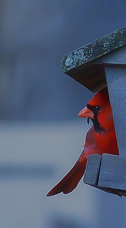 Cardinal Color In The Winter Feeder