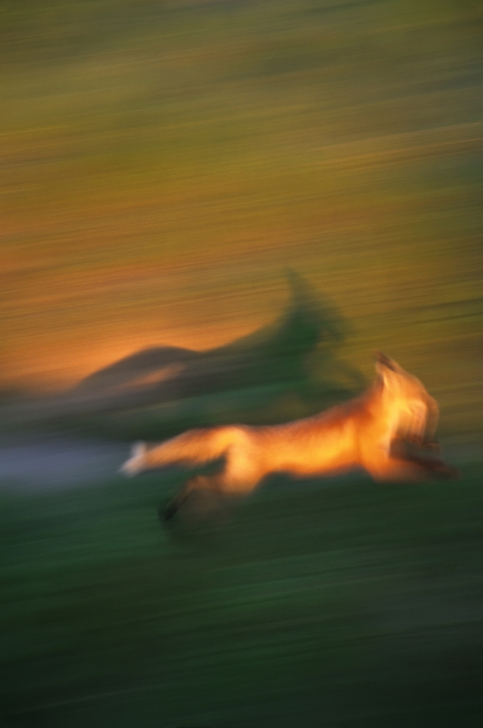 Fleeting Fox
