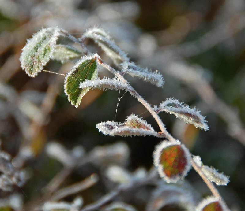 Frost And Webbing On Green Sprig