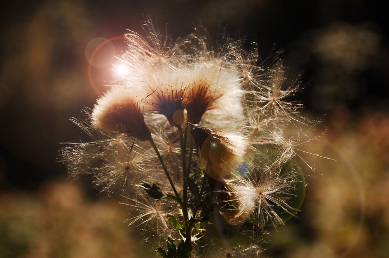 Thistle With Lens Flare