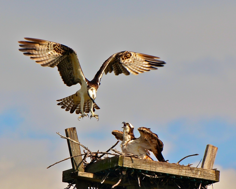 Quareling Ospreys