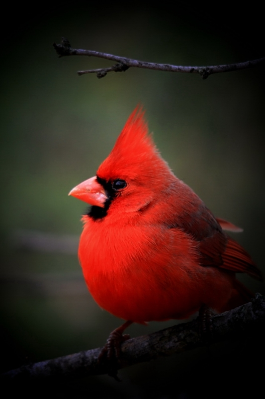 Cardinals Are Red …