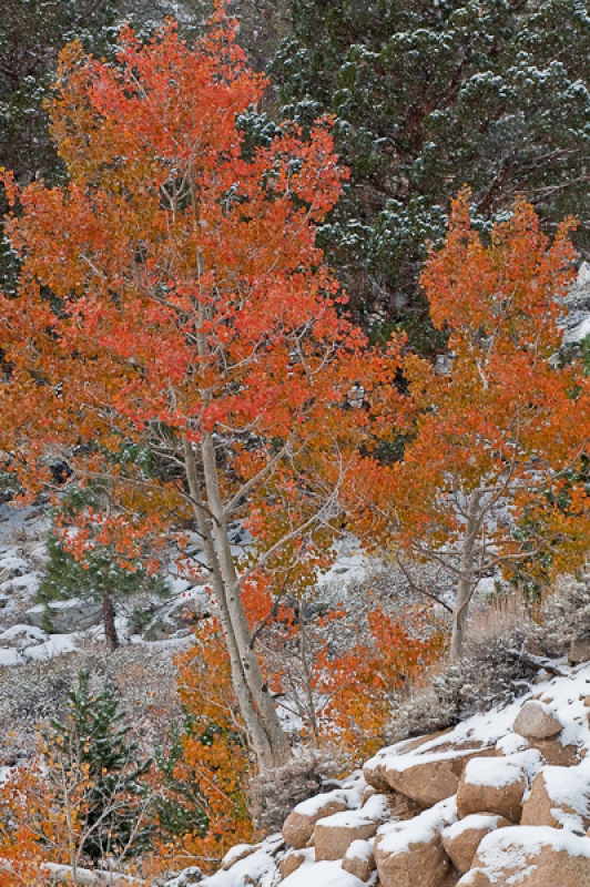 Fall Aspens In Snow
