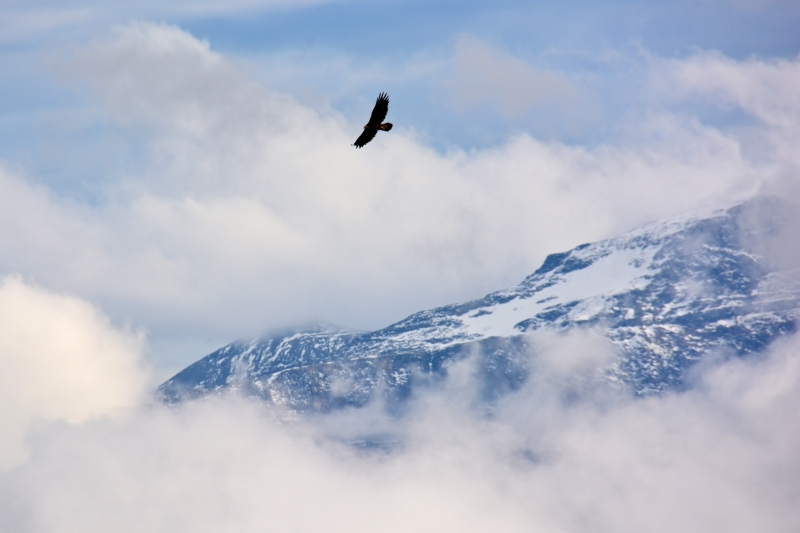 Golden Eagle Above The Clouds