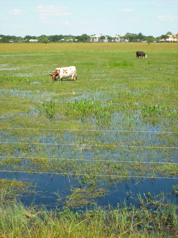 Florida Wetland Cows2