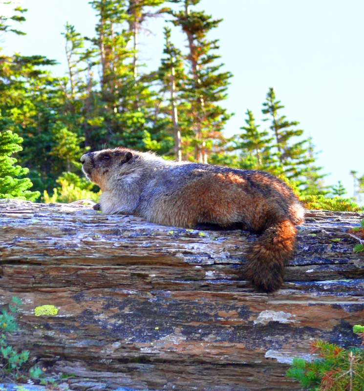 Colorful Marmot