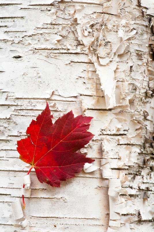 Maple Leaf On White Birch