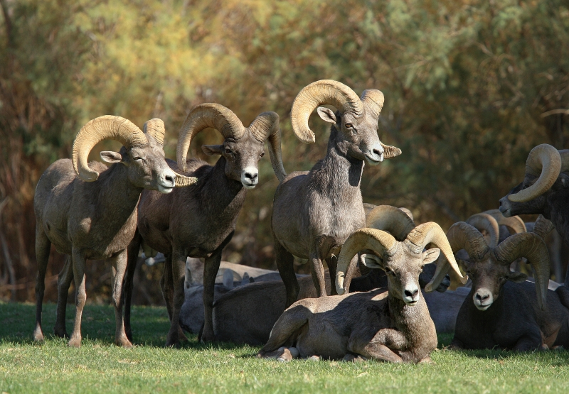 Lake Mead Bighorns