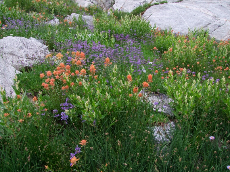 Sawtooth Wildflowers