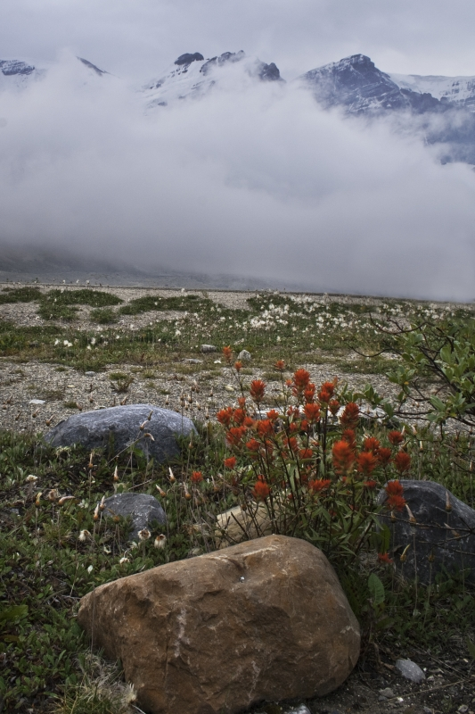 Indian Paintbrush On Foggy Morning