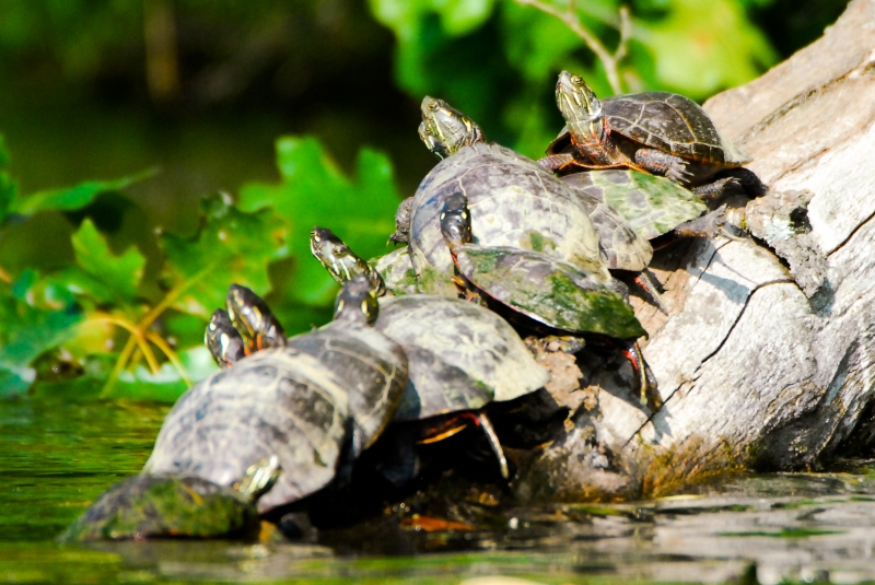 How Many Turltes Can Fit On A Log?