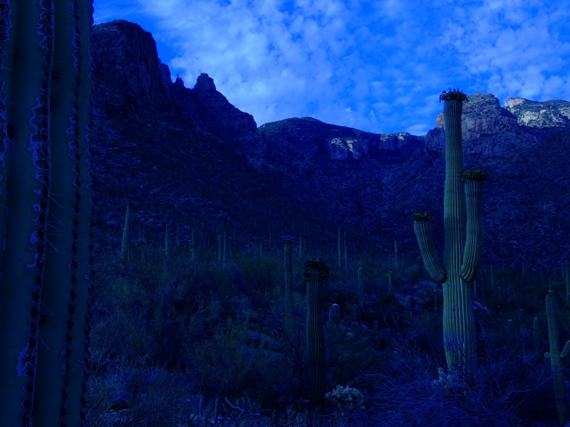 Finger Rock Saguaros