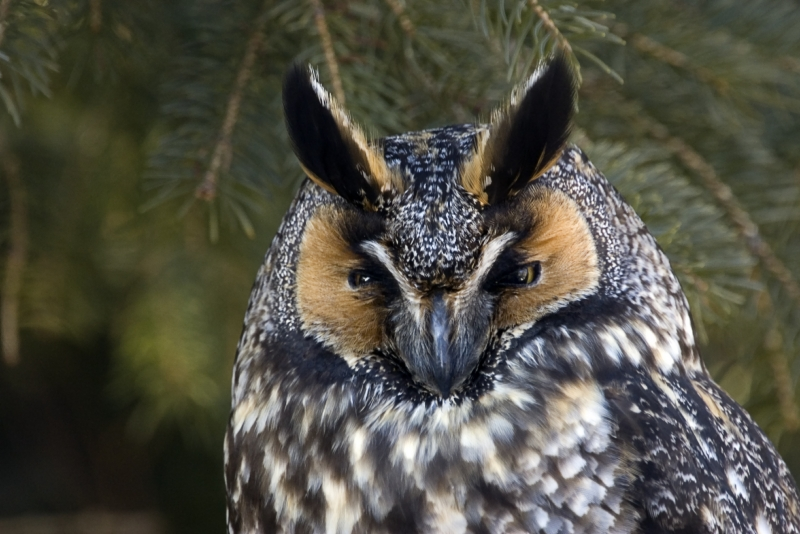 Long Eared Owl Iii