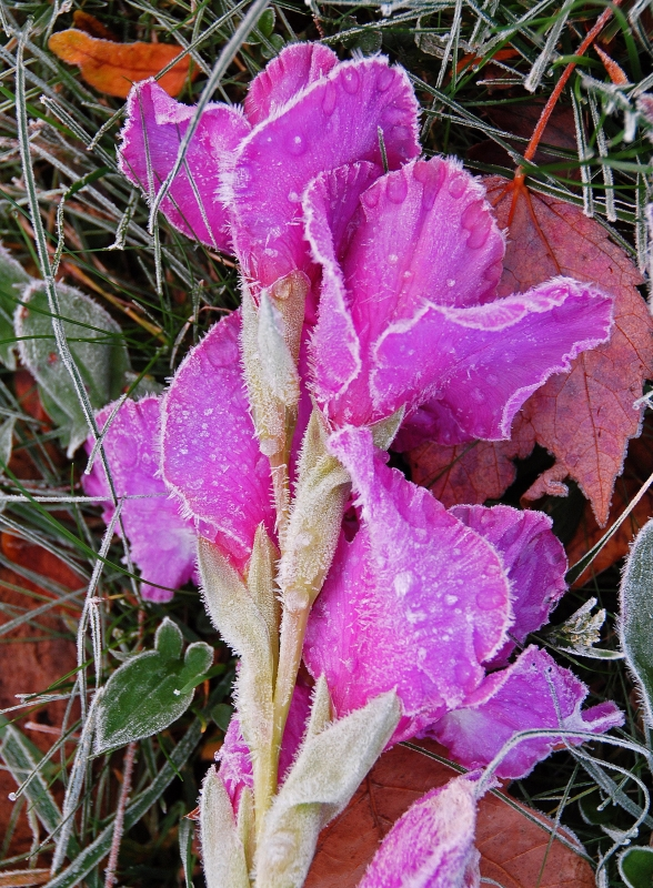 Frost On Pink Blossoms